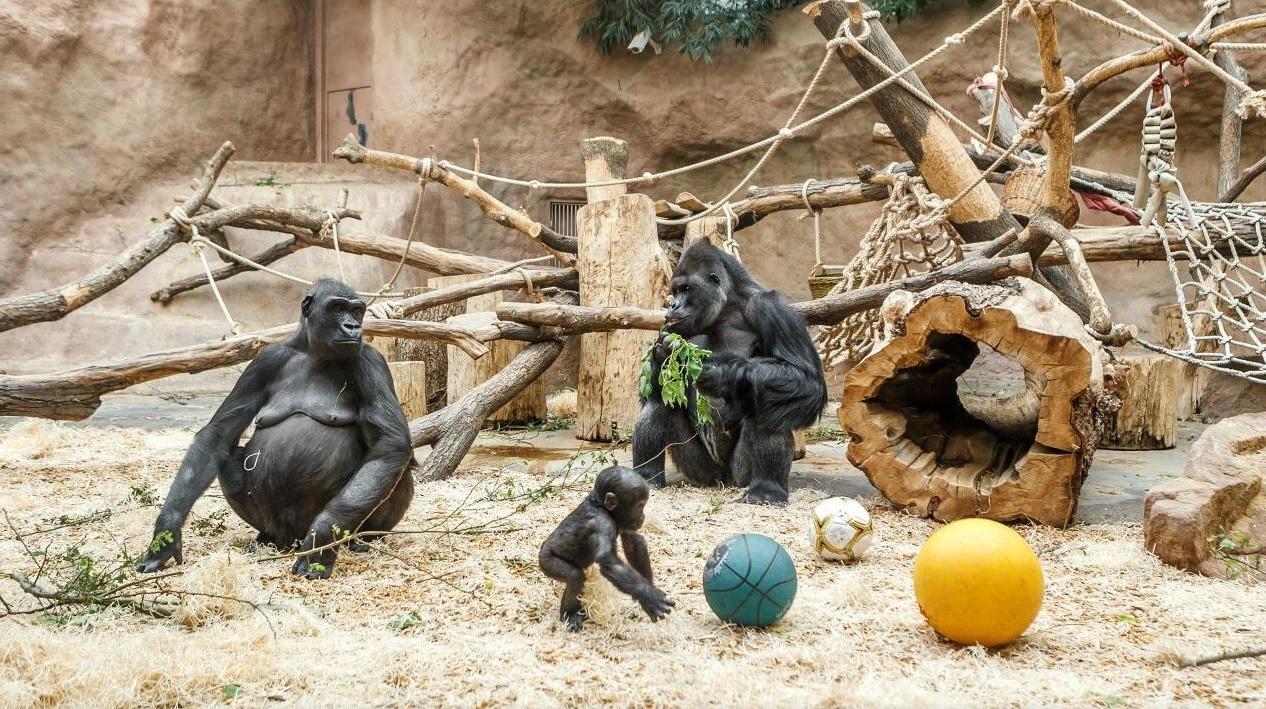 Пражский зоопарк гориллы