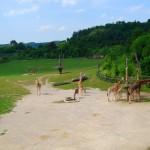 пражский зоопарк жирафы 2