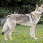 Чешский волчак фото
